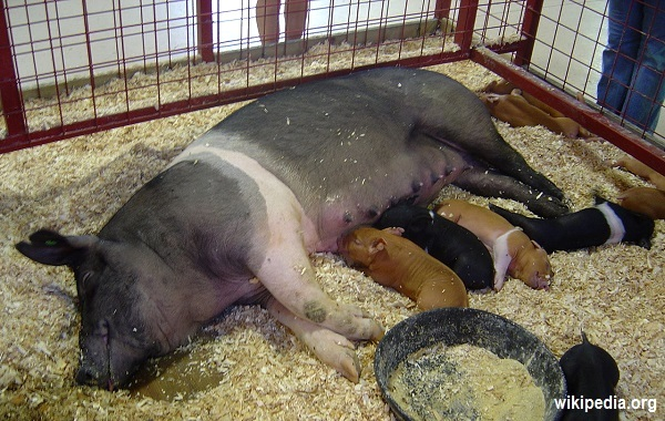 Hampshire-Sow_and_Piglets