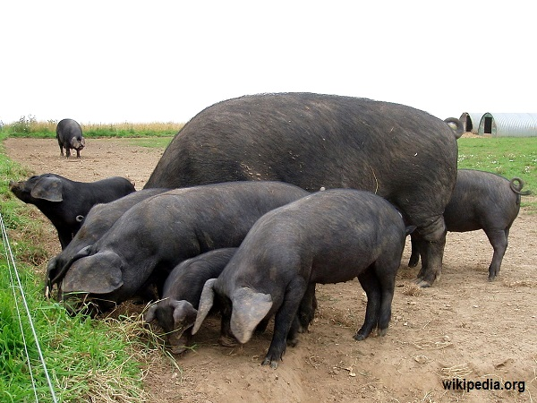 Large_Black_pigs