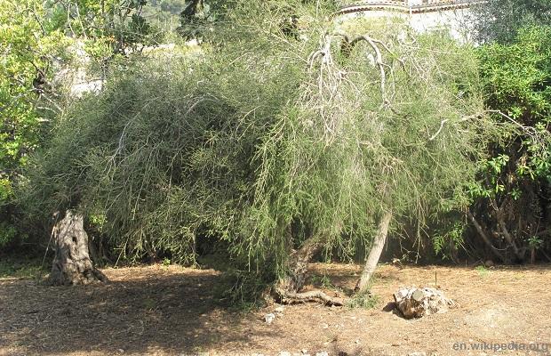 Melaleuca_alternifolia_(Maria_Serena) wiki