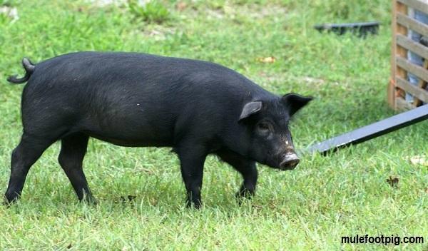Mulefoot-pig