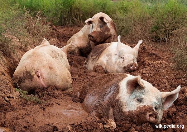 Yorkshire_pigs_at_animal_sanctuary