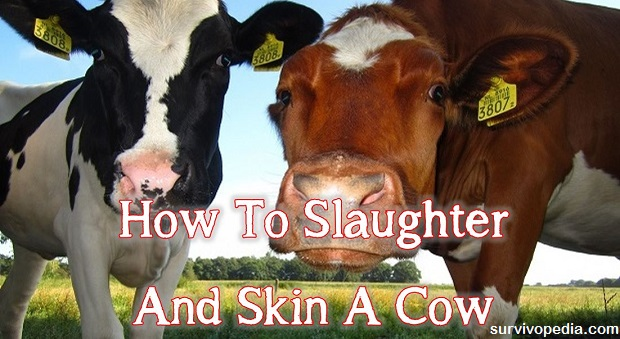 Survivopedia slaughter cow