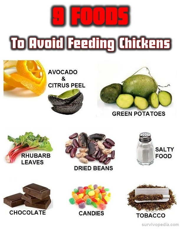 Survivopedia: 9 Foods to Avoid Feeding Chickens