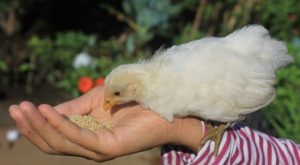 14 Cheap Ways To Feed Your Chickens