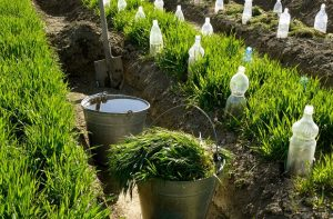 28064194 - two buckets and spade in irrigation ditch between vegetable beds with growing wheat as green manure and some bootles as small hothouses for growing seedlings