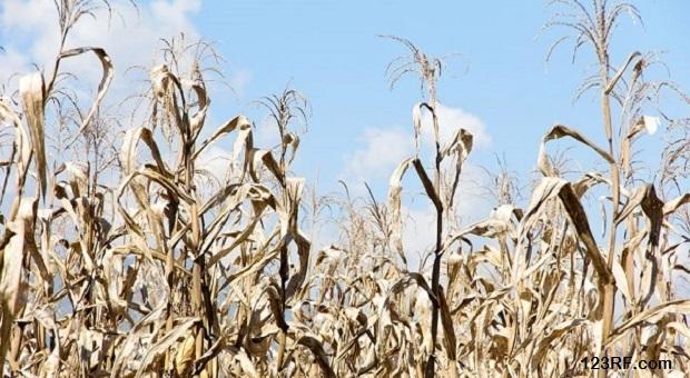 35612251 - dry season in a corn field.