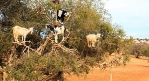 33416350 - goats feeding on argan trees in morocco