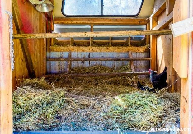 Chicken coop winter