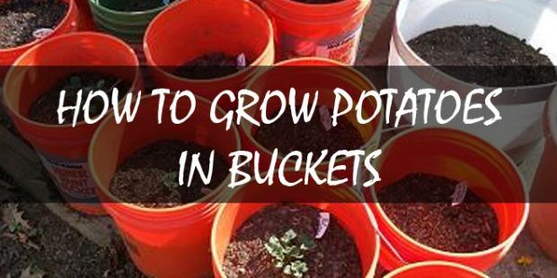 growing-potatoes-in-buckets-logo