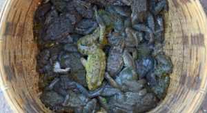 wilderness-survival-how-to-catch-edible-frogs