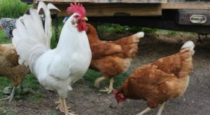 3 Ways To Add A Rooster To Your Flock