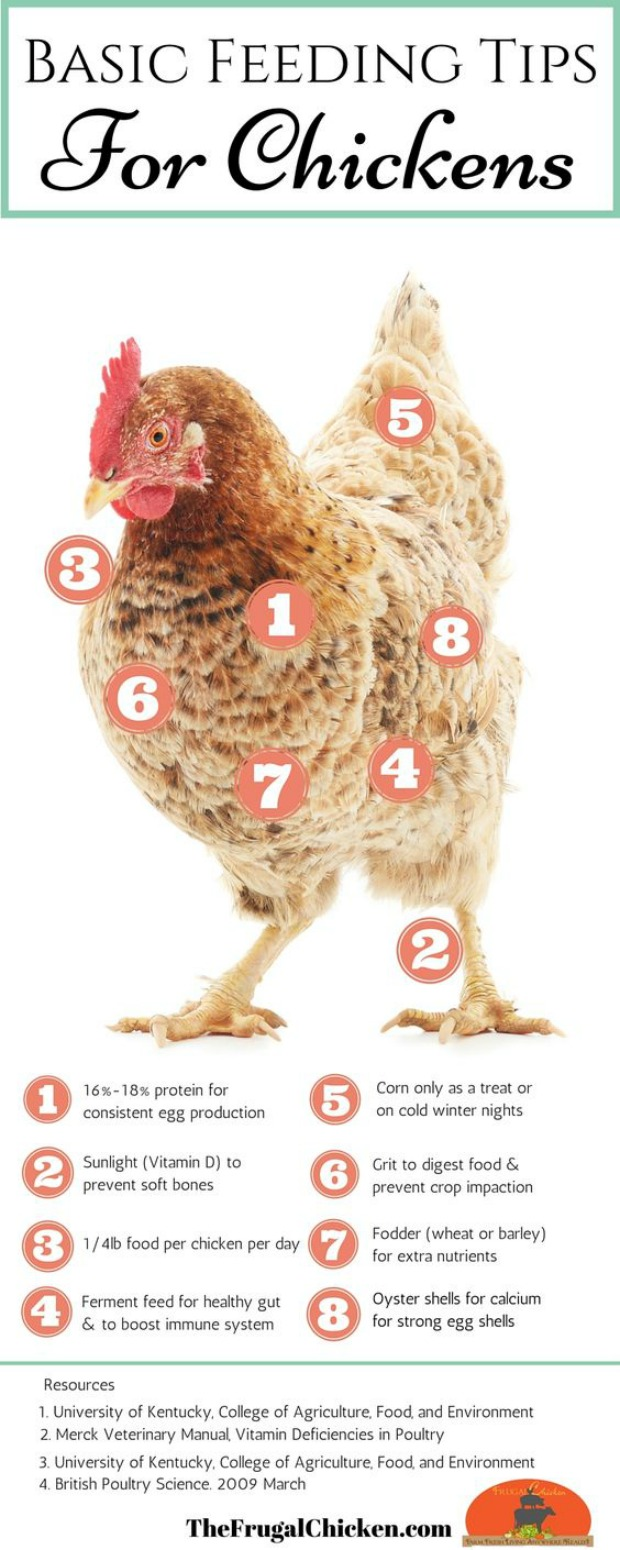 Chicken feeding tips