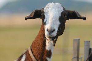 goat-1914084_640