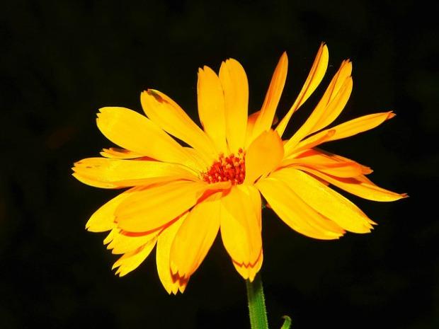 marigold-1748025_640
