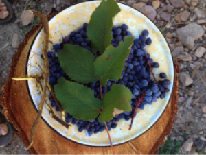 oregon_grape_forage