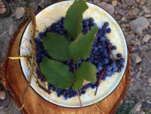 oregon_grape_forage