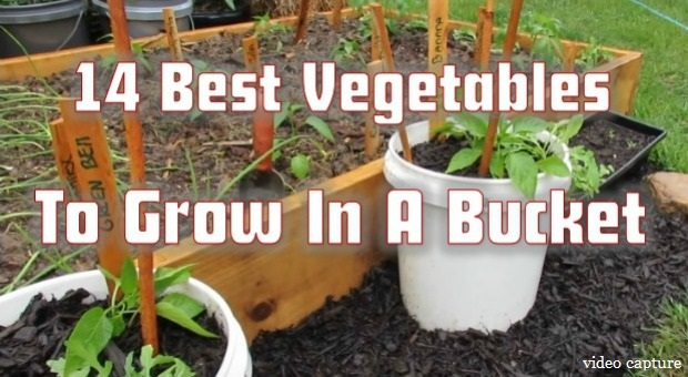14 best vegetables to grow in a bucket survivopedia for Easiest vegetables to grow