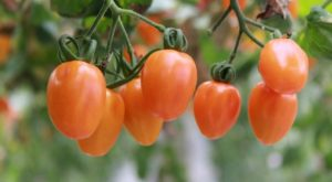 How To Grow Tomatoes For Survival
