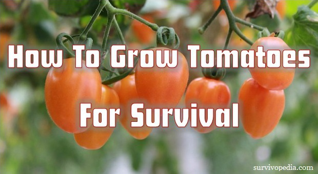 how to grow tomatoes for survival survival. Black Bedroom Furniture Sets. Home Design Ideas