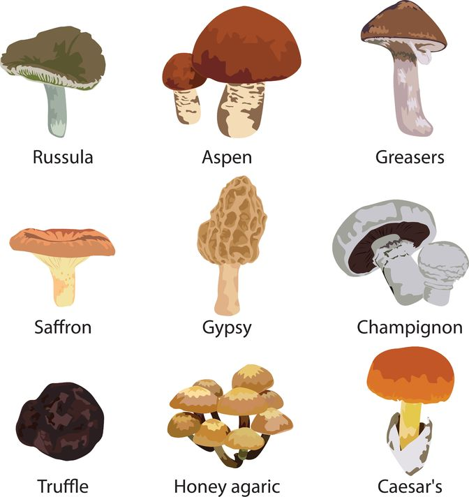 different types of mushrooms essay Fungus: fungus, any of about 99,000 known species of organisms of the kingdom fungi, including yeasts, mildews, molds, and mushrooms.